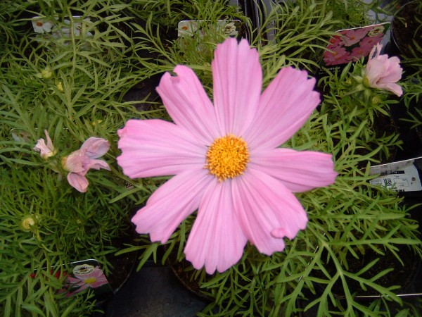 Cosmos Pink at Kershaw's Garden Centre