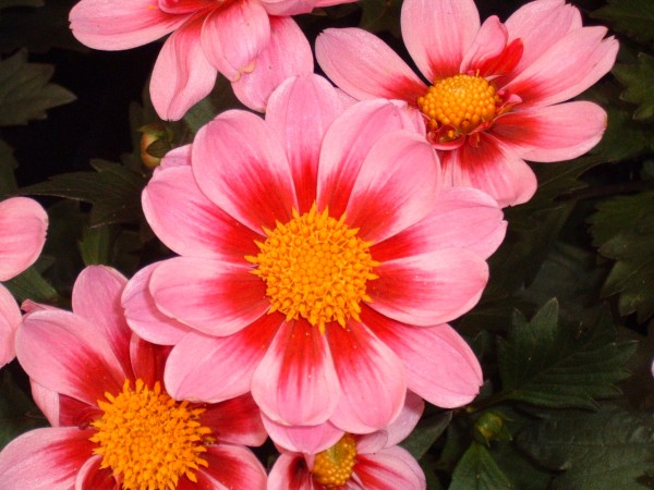Dahlia Amazone at Kershaw's Garden Centre 2
