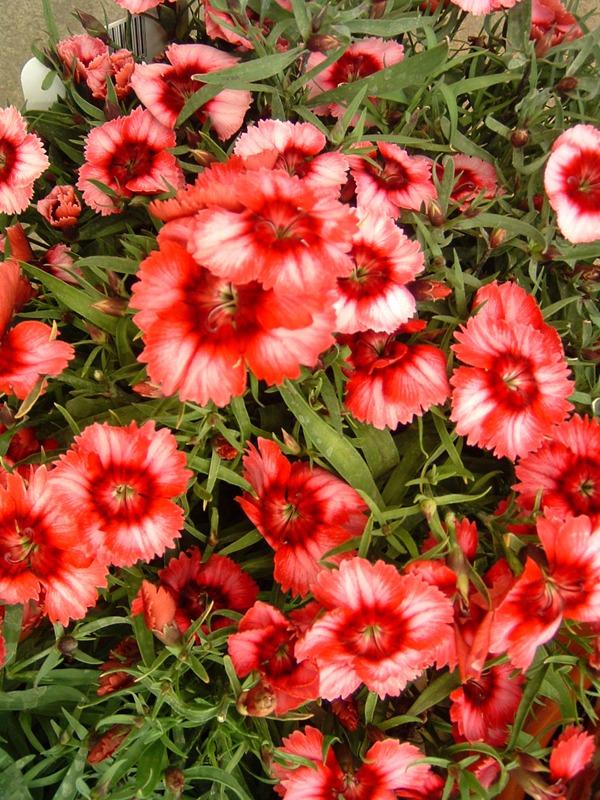 Dianthus Super Parfait Raspberry at Kershaw's Garden Centre