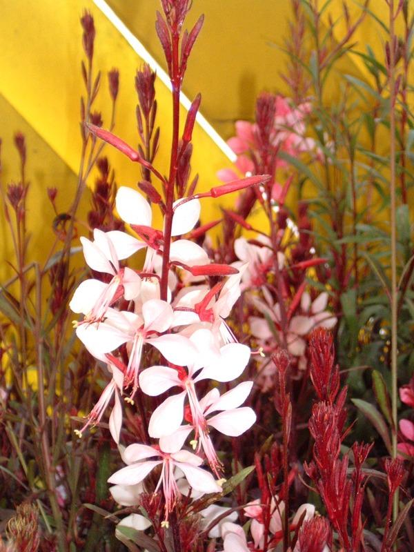 Gaura Pink at Kershaw's Garden Centre