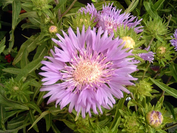 Stokesia Klaus Jelitto at Kershaw's Garden Centre