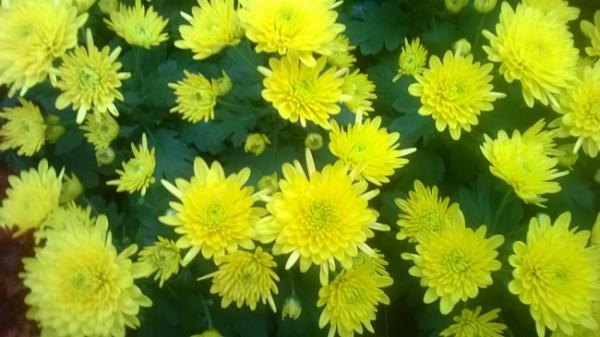 Chrysanthemum at Kershaws Garden Centre